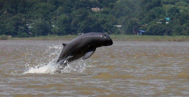 Dolphin-thai