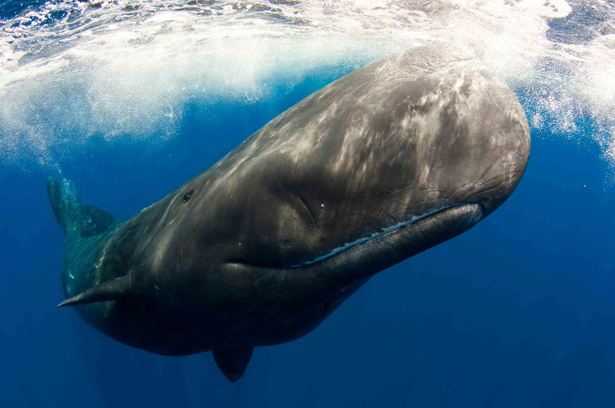 Sperm-whale-image