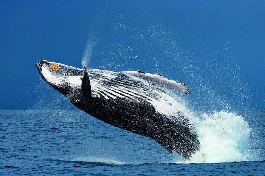 Humpback-whales-pic