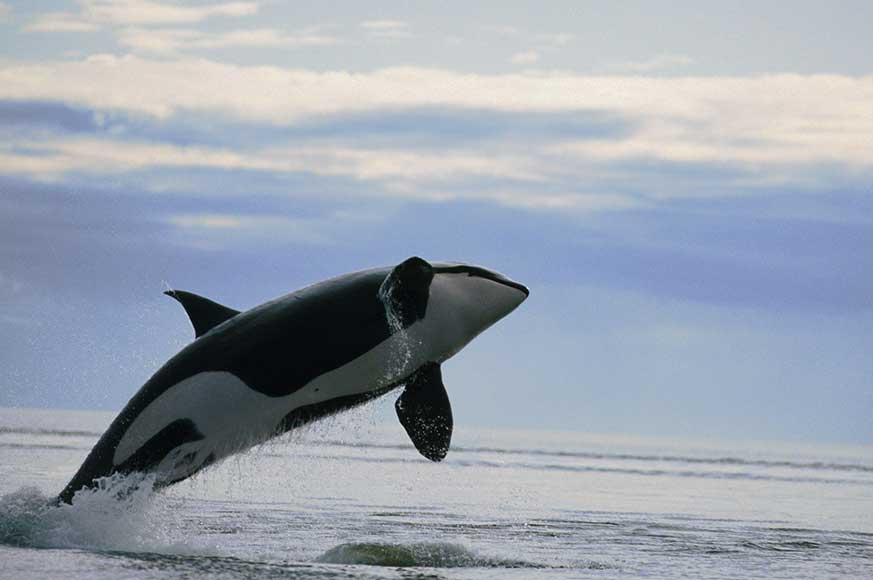 Killer-whale-photo
